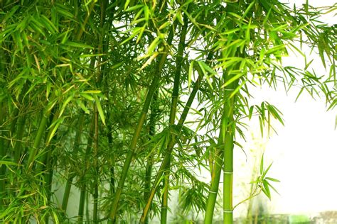 bamboo cay zone 7 bamboo varieties best types of bamboo for zone 7
