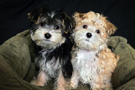 half yorkie half maltese puppies morkies half maltese half yorkie my next