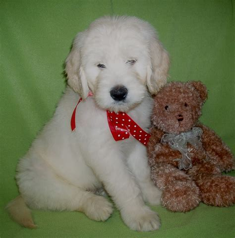 goldendoodle puppy feeding schedule potty schedule aussiedoodle and labradoodle