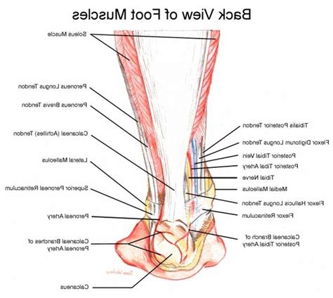 ankle diagram ankle muscles diagram human anatomy system