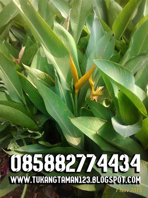 jual pohon heliconia golden pohon pisang pisangan hias
