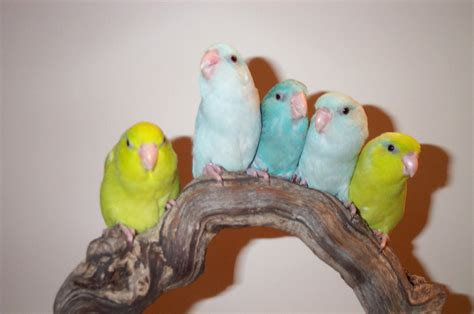 baby parrot called images of parrots images of everything