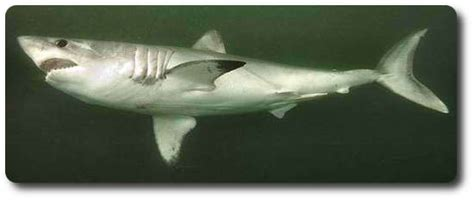 Types Of Grey Color the porbeagle is another very cool type of shark shark sider