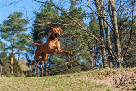 best hiking breeds 15 best breeds for hiking buddies page 10 of 16 outwardon