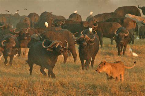 animal survival techniques  avoiding danger botswana wildlife behaviour