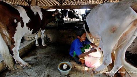 Bibit Sapi Perah Impor pemerintah impor 2 300 sapi perah dari australia