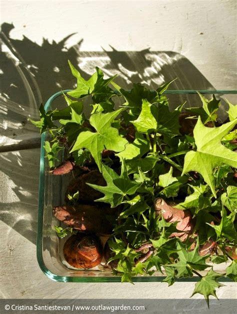 grow   sweet potatoes  idea king