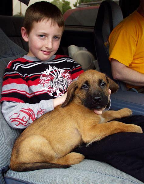 mastiff puppies rescue gentle giants rescue and adoptions