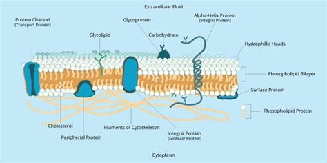3 proteins in the cell membrane membranes ii biology visionlearning