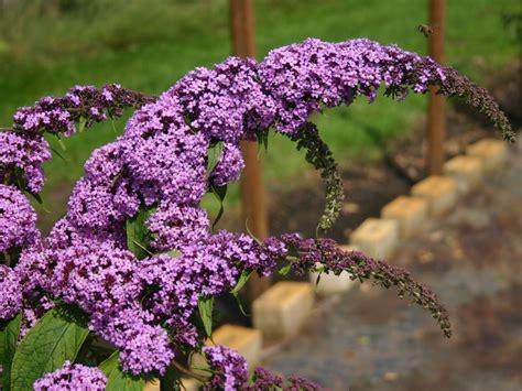 Winterharte Stauden Für Den Garten 723 by Sommerflieder Schmetterlingsstrauch Purple Prince