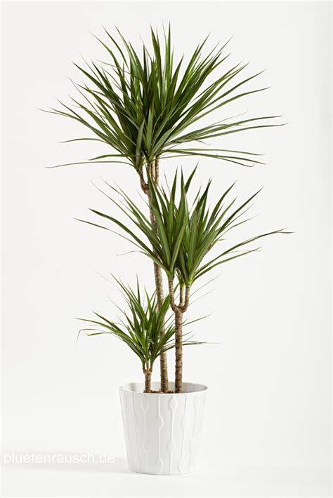 palme zimmerpflanze arten zimmerpflanzen schneiden so geht s bl 252 tenrausch