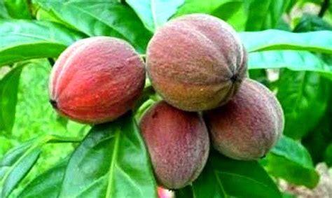 Obat Herbal Berries blushwood berry obat kanker