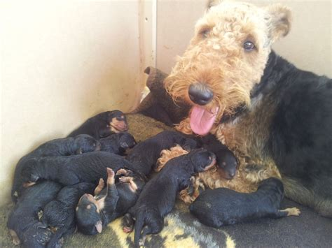 airedale puppies for sale 11 amazing airedale terrier puppies for sale carlisle cumbria pets4homes