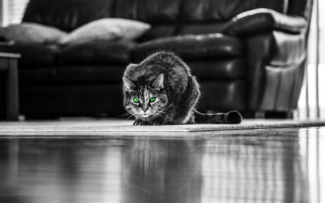 descargar fondos de pantalla gato monocromo  mascotas
