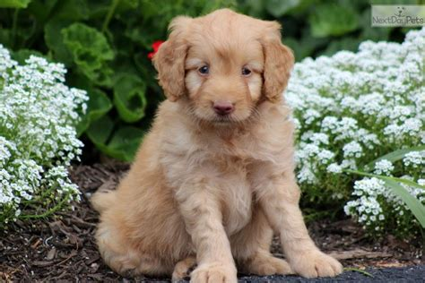 mini labradoodles for sale meet harley a labradoodle puppy for sale for 950