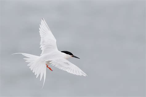 roseate tern flying