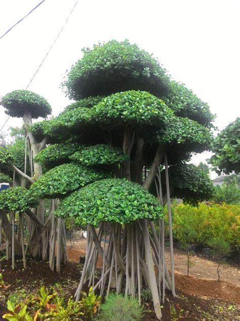 Bibit Pohon Cemara Norfolk tukang pohon beringin korea tukang pohon bonsai cemara