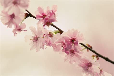 asiatische bilder freies foto forum thema anzeigen japanische kirschbl 252 ten