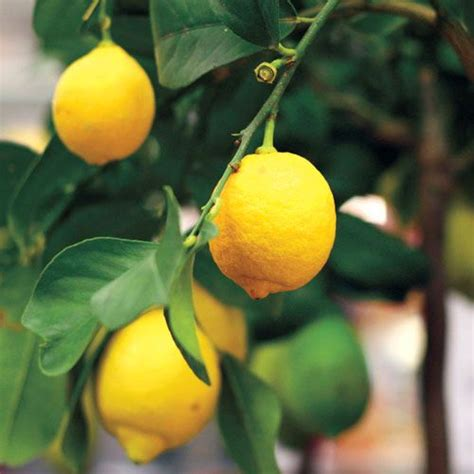citrus eureka lemon  jackson perkins