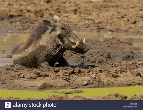 warthog wallowing in mud and water at a waterhole in the kruger stock photo royalty free image