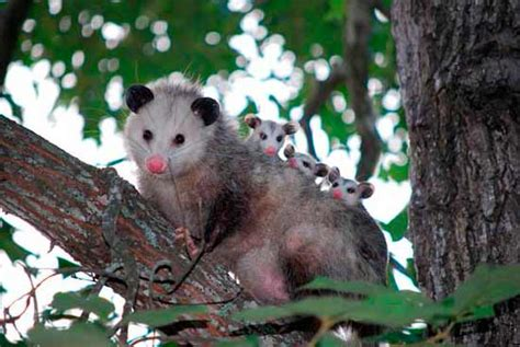 how do you get rid of possums in the backyard how to get rid of possums five ways and top 7 repellents