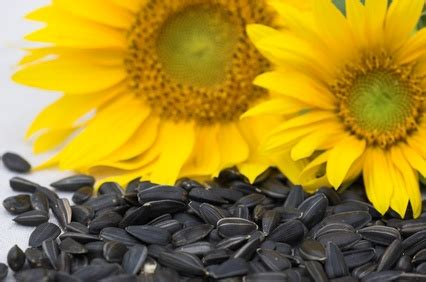 organic black sunflower seeds for chickens black sunflower seeds backyard chickens