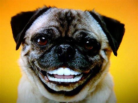 pedigree pugs pug with dentures pedigree dentastyx commercial ilene tatro flickr