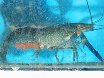 Bibit Udang Lobster Air Tawar Samarinda teknologi akuakultur 48 budidaya lobster air tawar