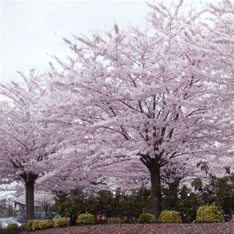 61 best images about prunus yedoensis shirotae on pinterest yoshino cherry tree spring and
