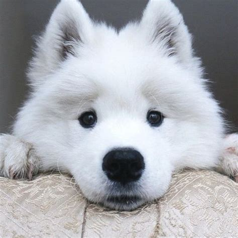 how much are samoyed puppies 1000 ideas about samoyed puppies on samoyed samoyed dogs and japanese spitz
