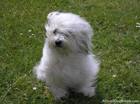 small havanese havanese small dogs