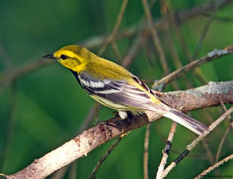 laura s black throated green warbler photos