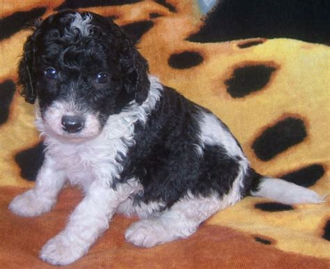 white labradoodle puppies valley view parti labradoodle breeders parti labradoodle information