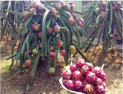 Bibit Buah Naga Kuning Banyuwangi jual bibit buah naga banyuwangi murah 087784795307