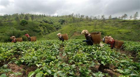 ekspor teh indonesia ke amerika turun 5 okezone ekonomi