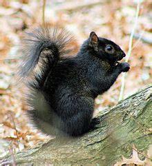 black squirrel wikipedia