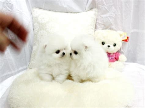 pomeranian puppies for sale in houston tx pomeranian puppies ready for adoption for sale in houston classified