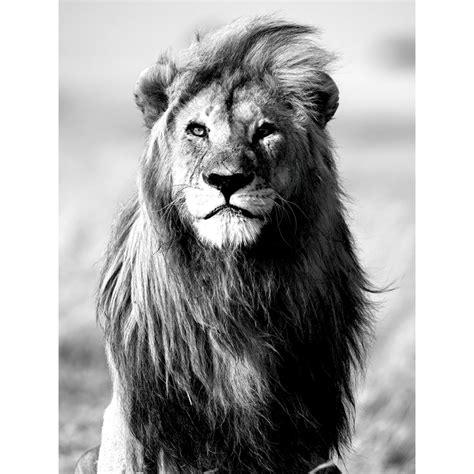 film avec un lion noir majesty alin 233 a deco murale et lion