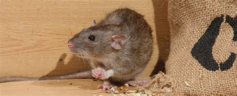 rats in backyard getting rid of how do you get rid of