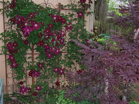 climbing plants for shady areas 17 best ideas about climbing flowering vines on