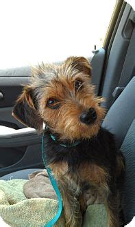 miniature schnauzer yorkie mix schnauzer miniatureyorkie terrier mix for adption in breeds picture