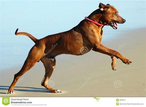 jumping puppy big jump stock image image 2816071