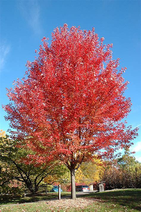 autumn blaze maple acer x freemanii jeffersred in
