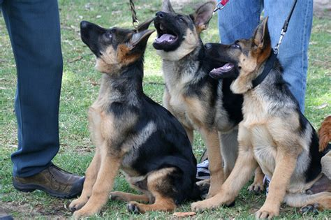 how much does a german shepherd cost average cost of a german shepherd 1001doggy