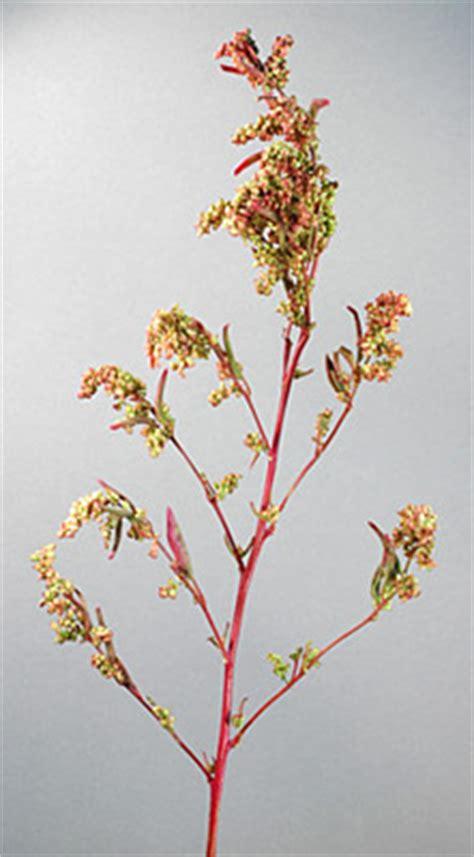 Segiempat Floral Sp 01 atriplex