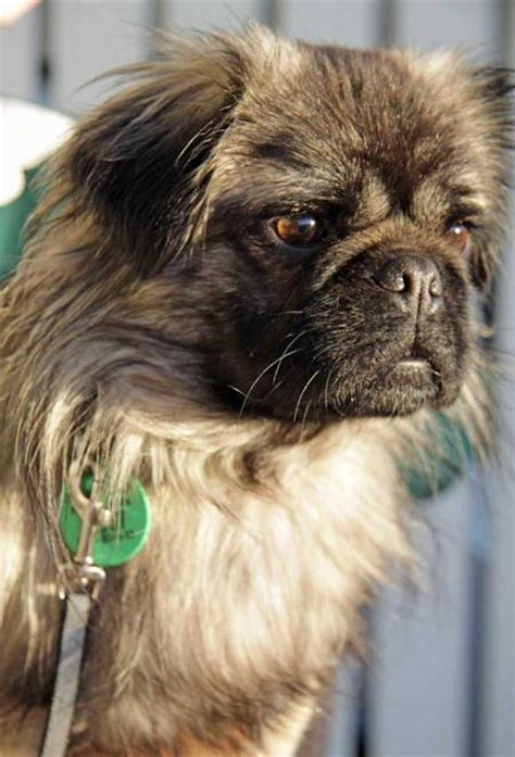 lhasa apso pug mix time for a pug puppy daily puppy