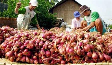 Harga Bibit Bawang Merah Maret 2017 harga bibit bawang mahal petani meradang kabar harian bima