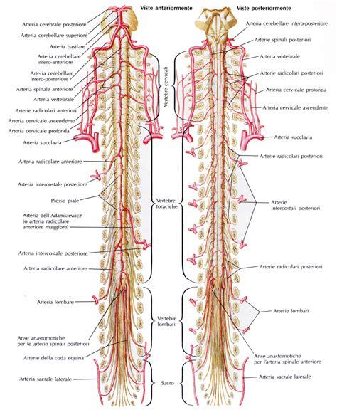 vasi cerebrali vasi tronco encefalico o cerebrale medicinapertutti it