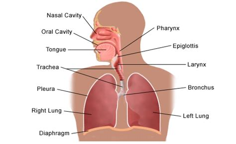 where are your lungs located in your diagram the lungs in pregnancy