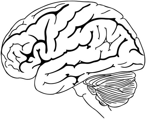 brain coloring page brain coloring and drawing page for